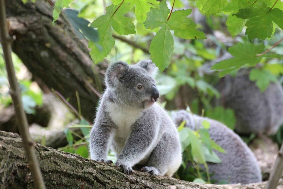 koala-1557457_1920